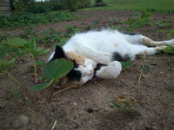 Katė lygina lauką
